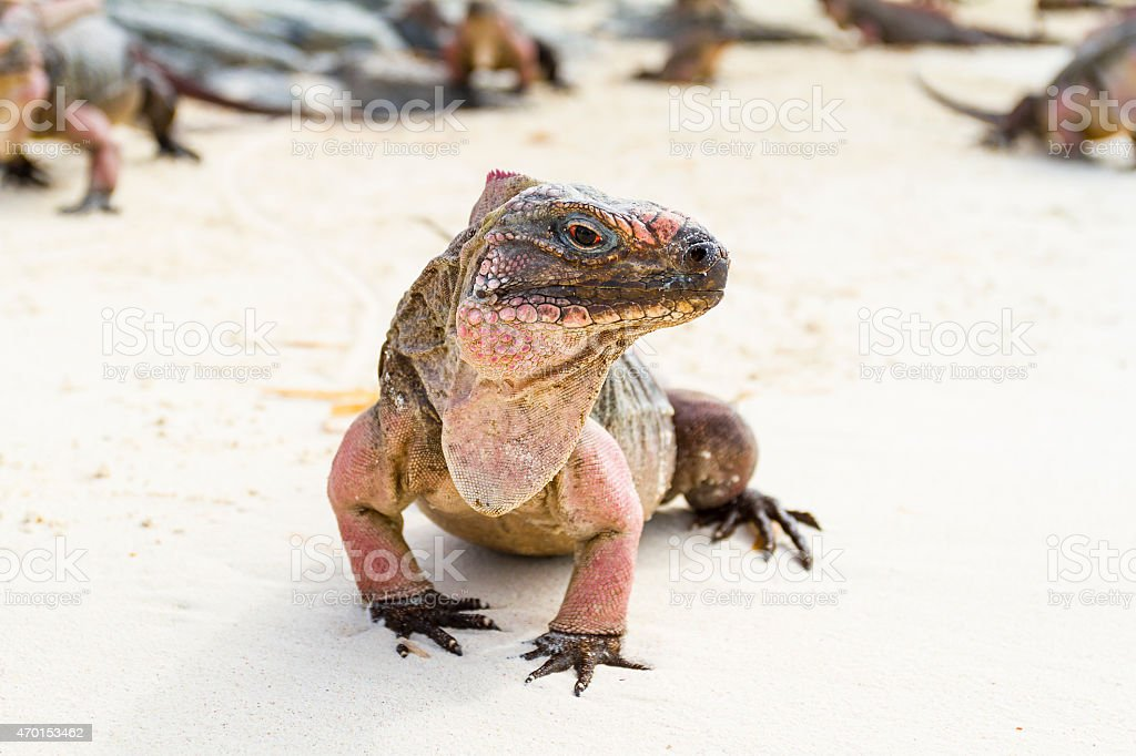 Portrait of iguana on the beach - Bahamas stock photo