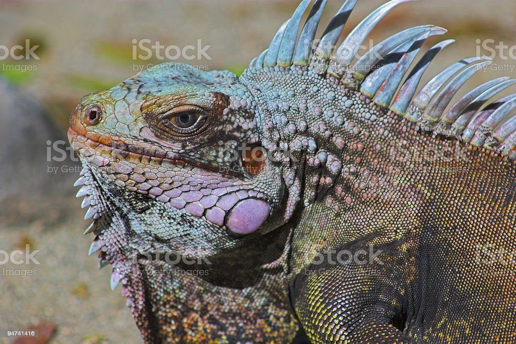 Portrait of iguana stock photo