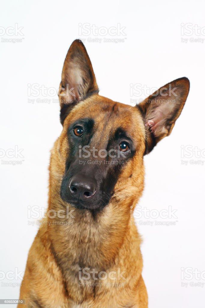 Portrait of interested Belgian Shepherd dog Malinois on white background - foto de stock