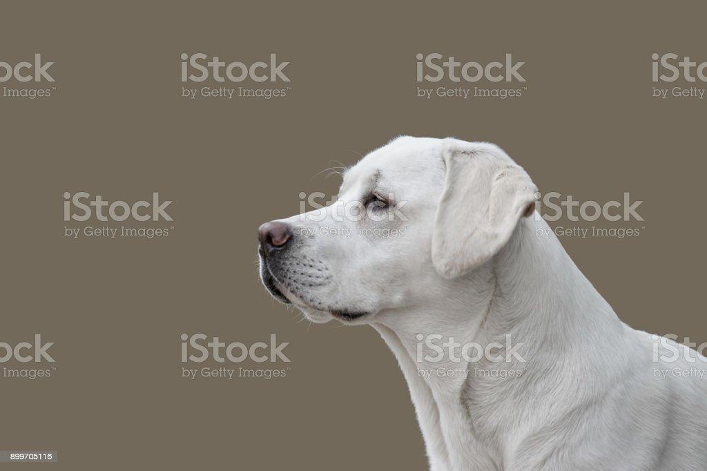 Porträt von isolierten Labrador Retriever Hund vor Hintergrund mit Textfreiraum – Foto