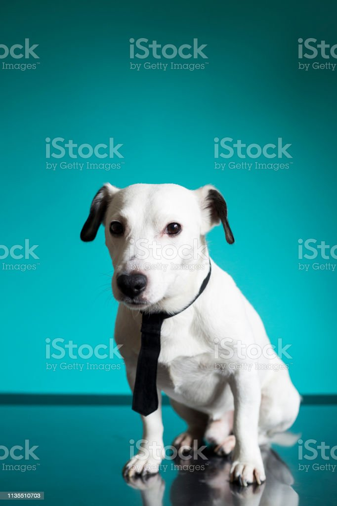 portrait of jack russell terrier business dog with a black tie on...