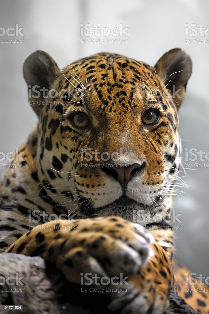 Portrait of jaguar royalty-free stock photo