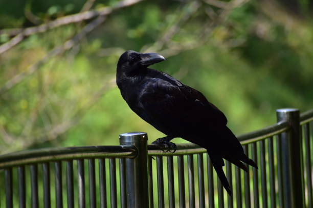 Portrait of jungle crow stock photo