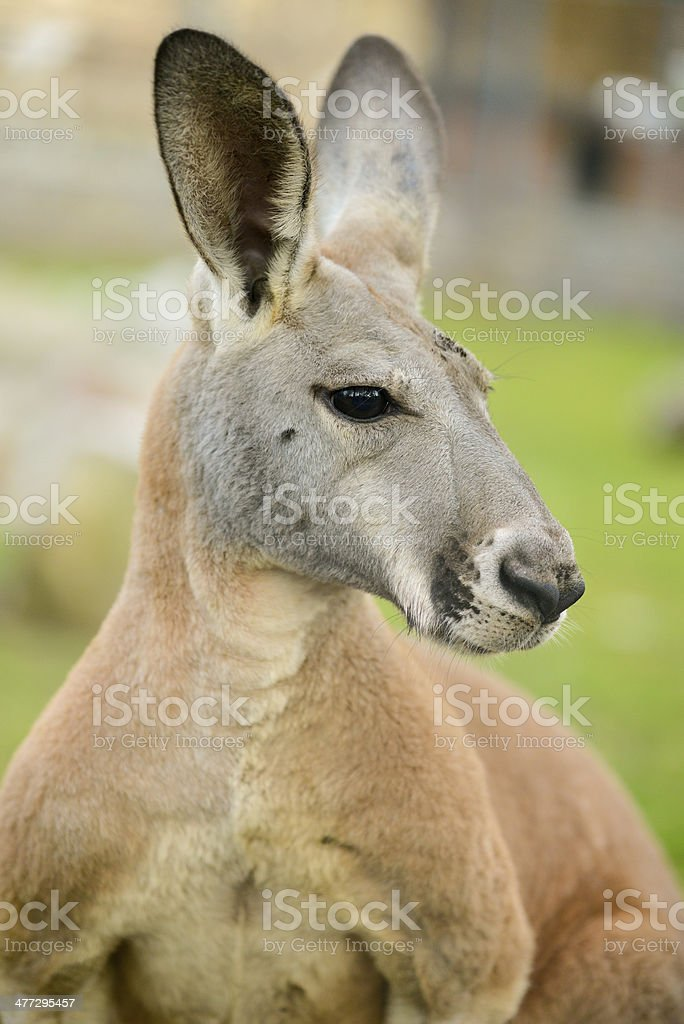 Portrait of kangaroo with long ears, looking at camera royalty-free stock photo