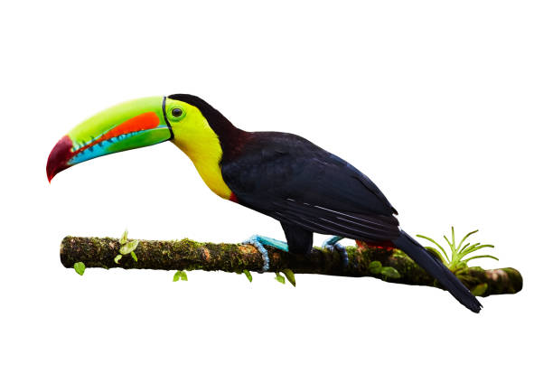 Portrait of Keel-billed Toucan (Ramphastus sulfuratus) perched on branch, isolated on white background stock photo