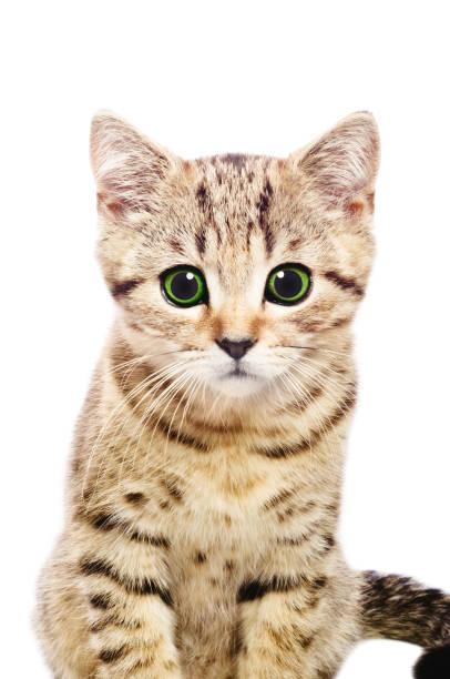 Portrait of kitten isolated on white background picture id926092880?b=1&k=6&m=926092880&s=612x612&w=0&h=4benkxoz9fnsrnp hk7d3ftyrsyrsceo2l4puktk 3i=