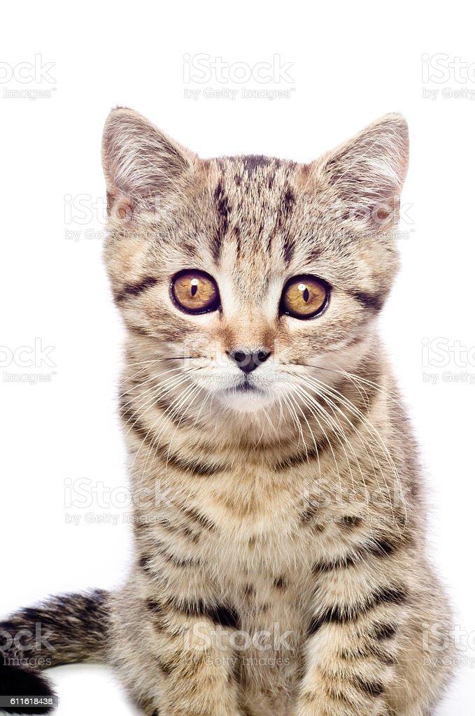 Portrait of kitten Scottish Straight stock photo