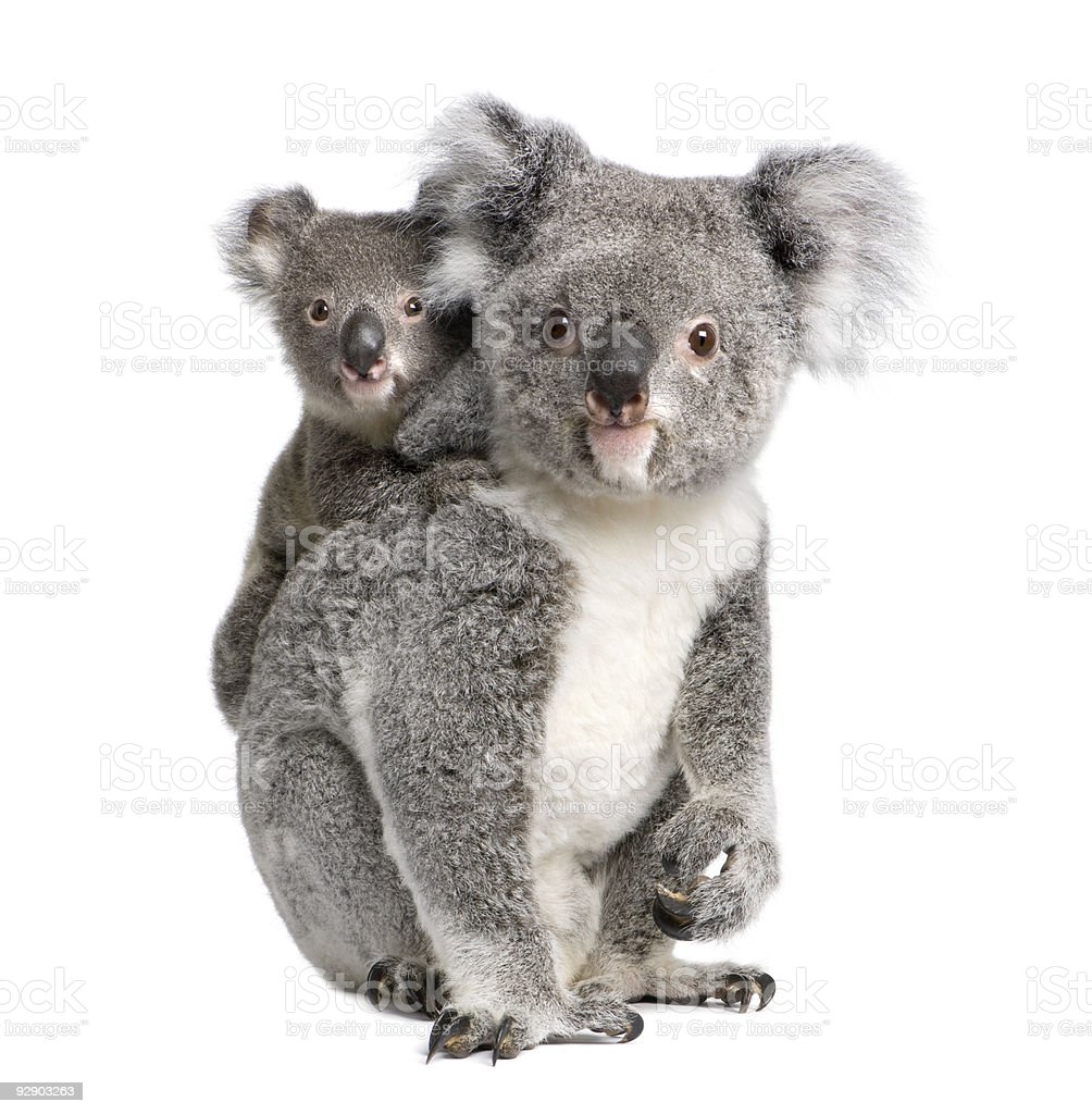 Portrait of Koala bears, 4 years and 9 months old royalty-free stock photo
