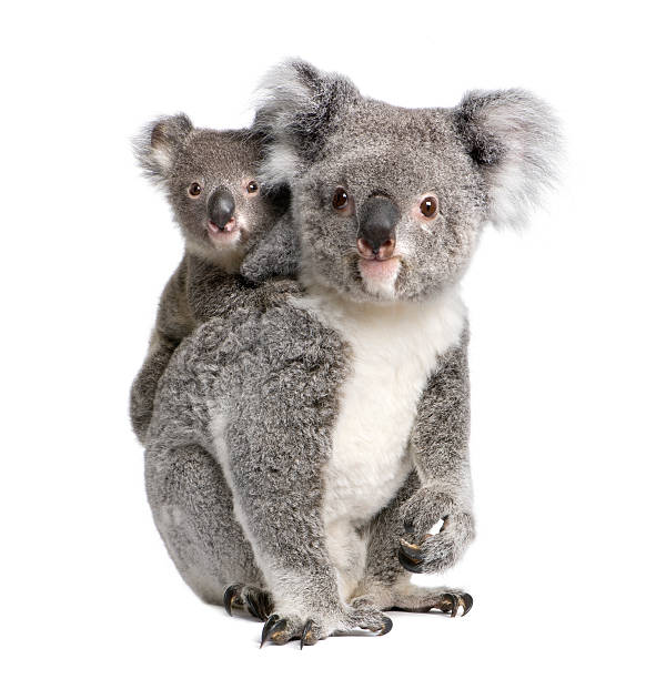 Portrait of Koala bears, 4 years and 9 months old stock photo