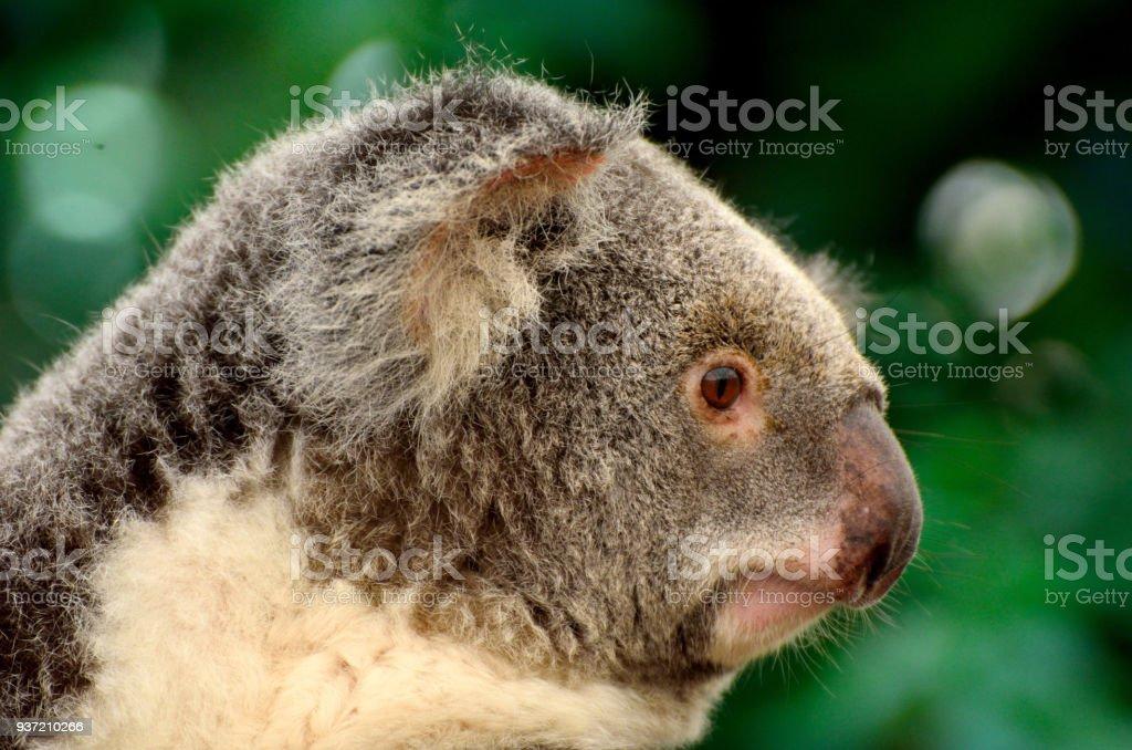 Portrait of koala stock photo