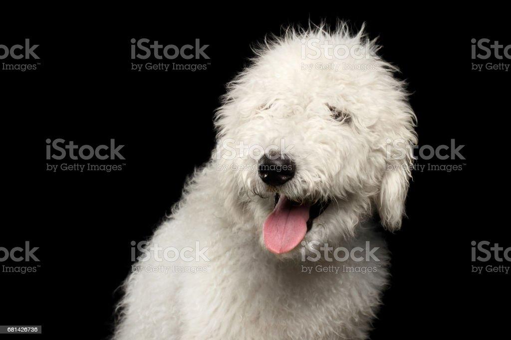 Portrait of Komondor Dog stock photo