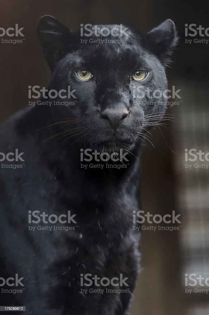 Portrait of Leopard stock photo