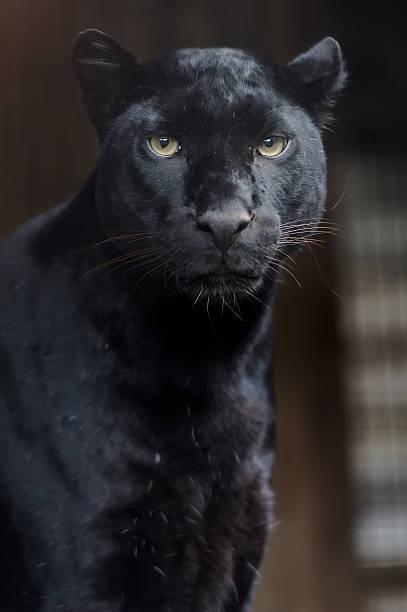 portrait of leopard - black leopard stock photos and pictures