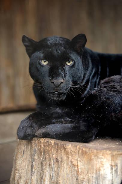 Portrait of Leopard圖像檔