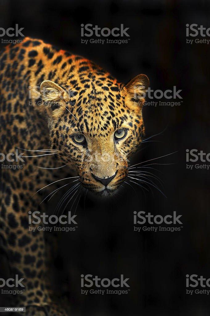 Porträt von leopard – Foto