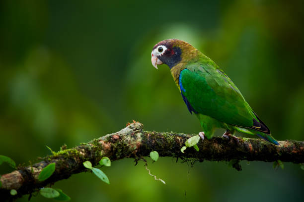 Portrait of light green parrot with brown head,  Brown-hooded Parrot, Pionopsitta haematotis. Wildlife bird from tropical forest. Parrot from Central America. stock photo