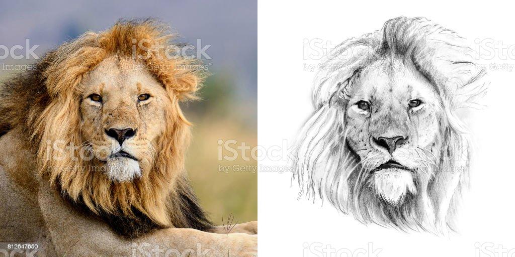 Retrato de León antes y después de dibujado a mano en lápiz - foto de stock