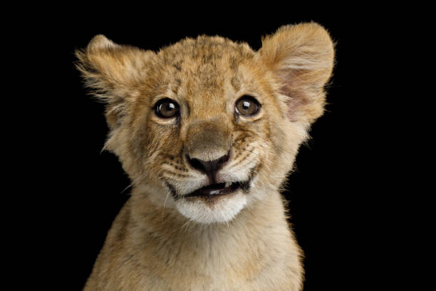Portrait of Lion Cub Portrait of Lion Cub with Grin Isolated on Black Background, front view lion cub stock pictures, royalty-free photos & images