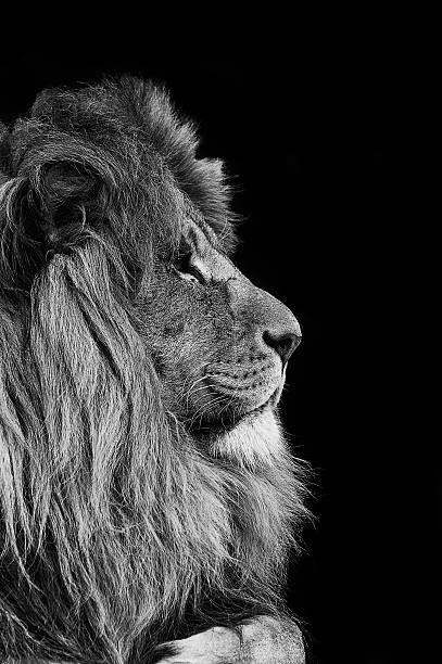 lion noir et blanc photos et images libres de droits. Black Bedroom Furniture Sets. Home Design Ideas
