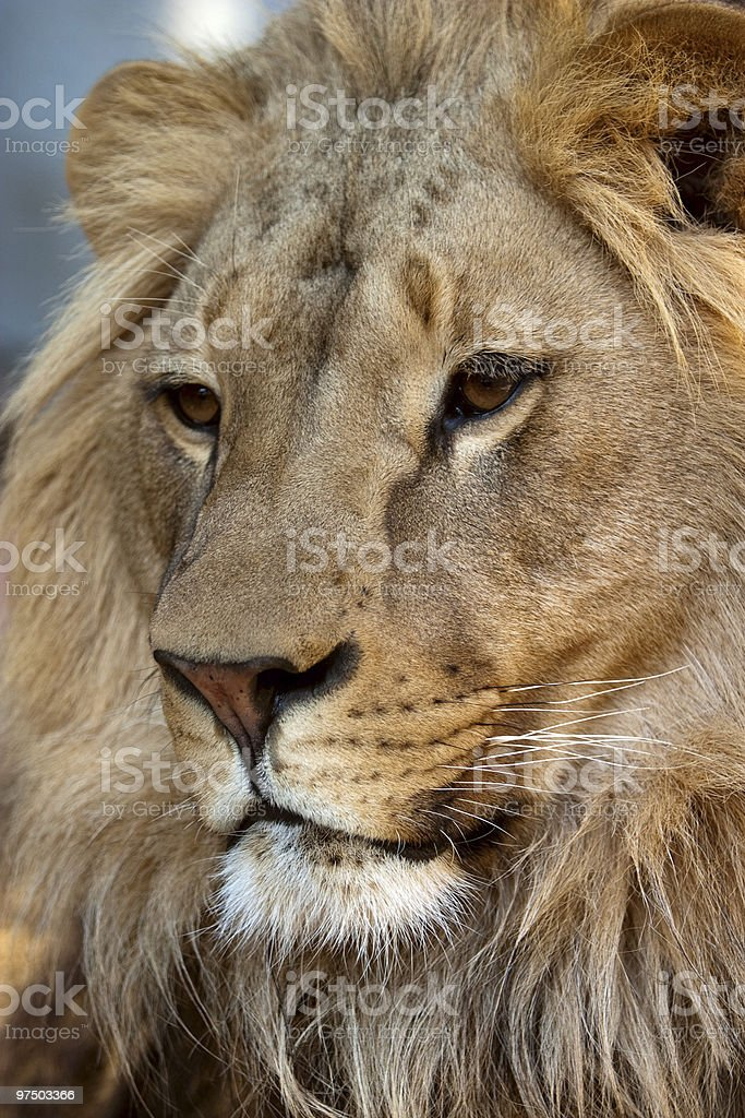 Portrait of Lion royalty-free stock photo