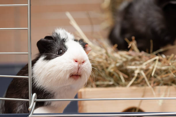 Portrait of little black and white guinea pig stock photo