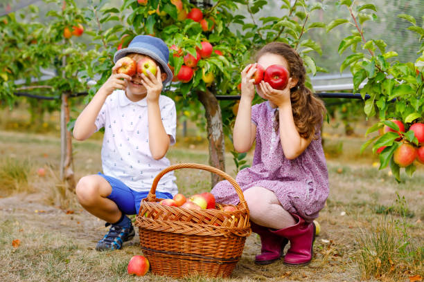 Portrait of little girl and kid boy with red apples in organic orchard. Happy siblings, children, brother and sister picking ripe fruits from trees and having fun. Harvest season for family. stock photo
