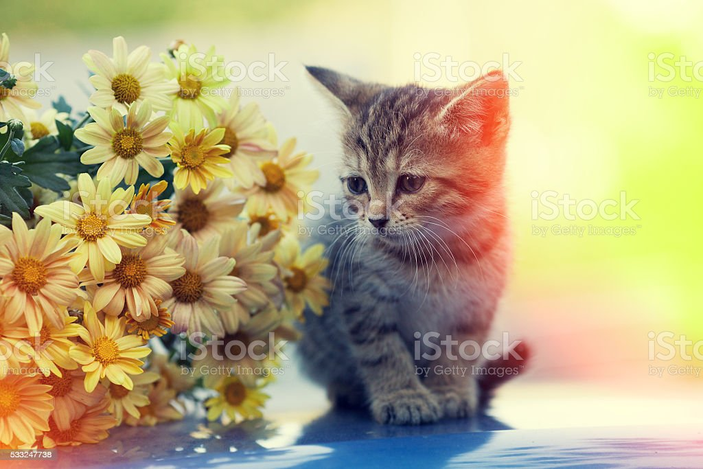 Portrait Of Little Kitten Looking At Bouquet Of Daisy Flowers stock ...