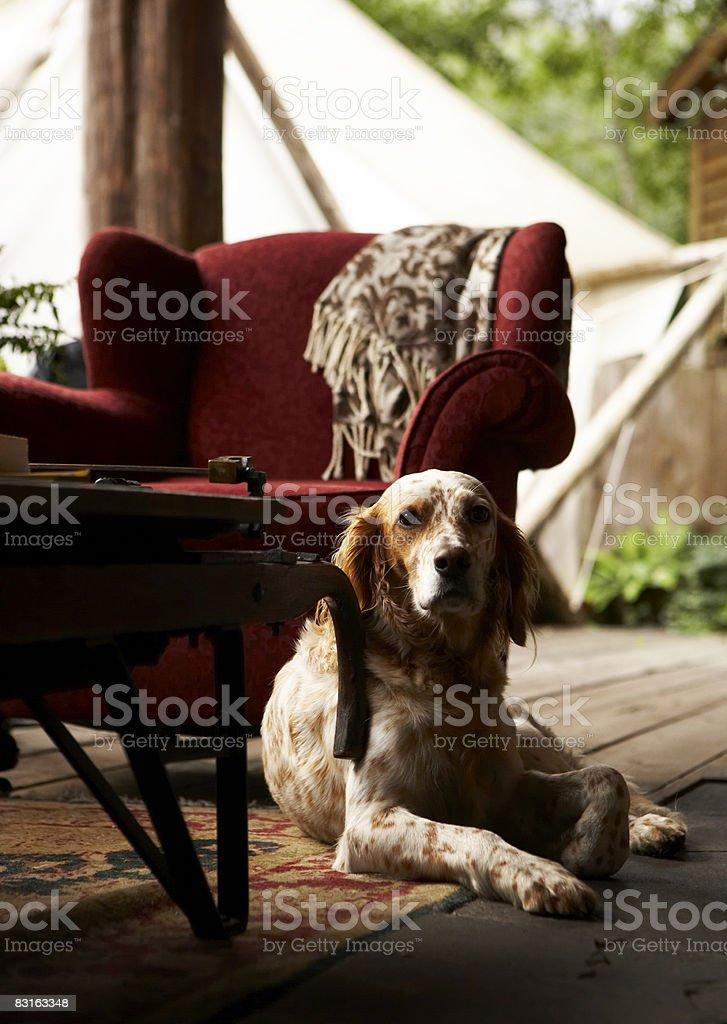 Portrait of Llewelyn Setter next to red chair. royaltyfri bildbanksbilder