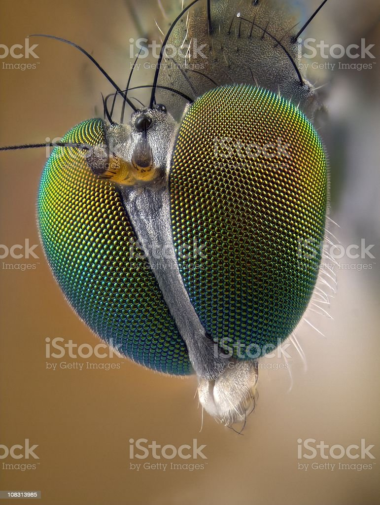 Portrait of Long legged fly (Dolichopodidae) stock photo