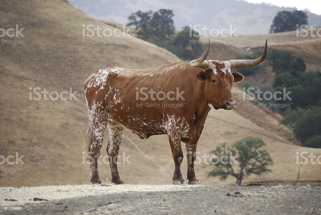 portrait of longhorn bull royalty-free stock photo