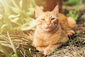 Portrait of lovely and fluffy ginger cat lie on green grass in spring garden and looking on the camera. garden in the sunlight