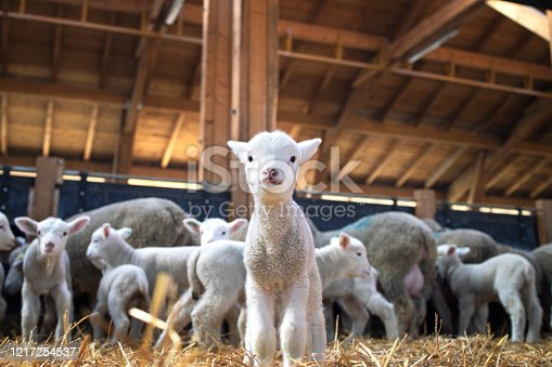 Portrait of lovely lamb staring at the camera in cattle barn. In background flock of sheep eating food.