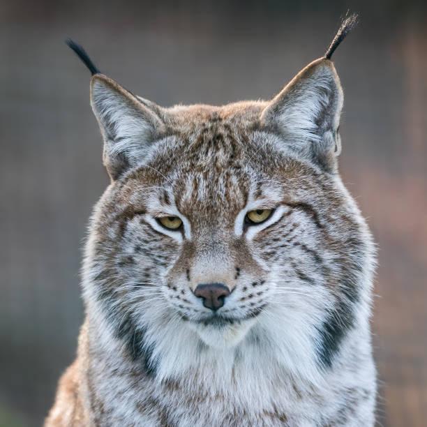 Porträtt av Lynx i skogen bildbanksfoto