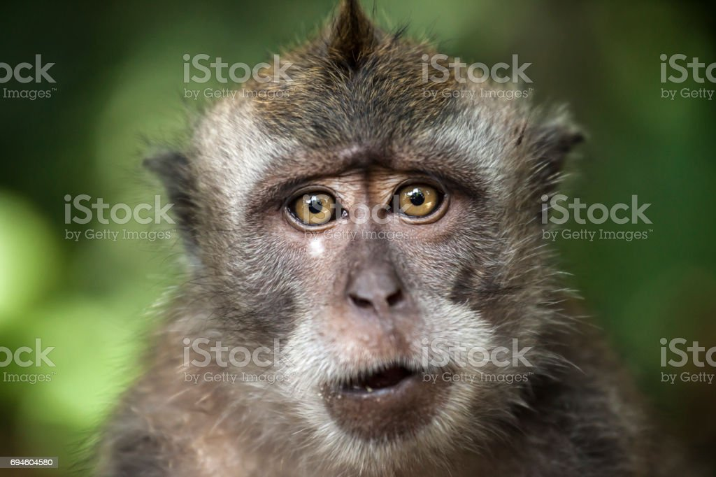 Portrait of Macaque monkey, looking at camera. stock photo