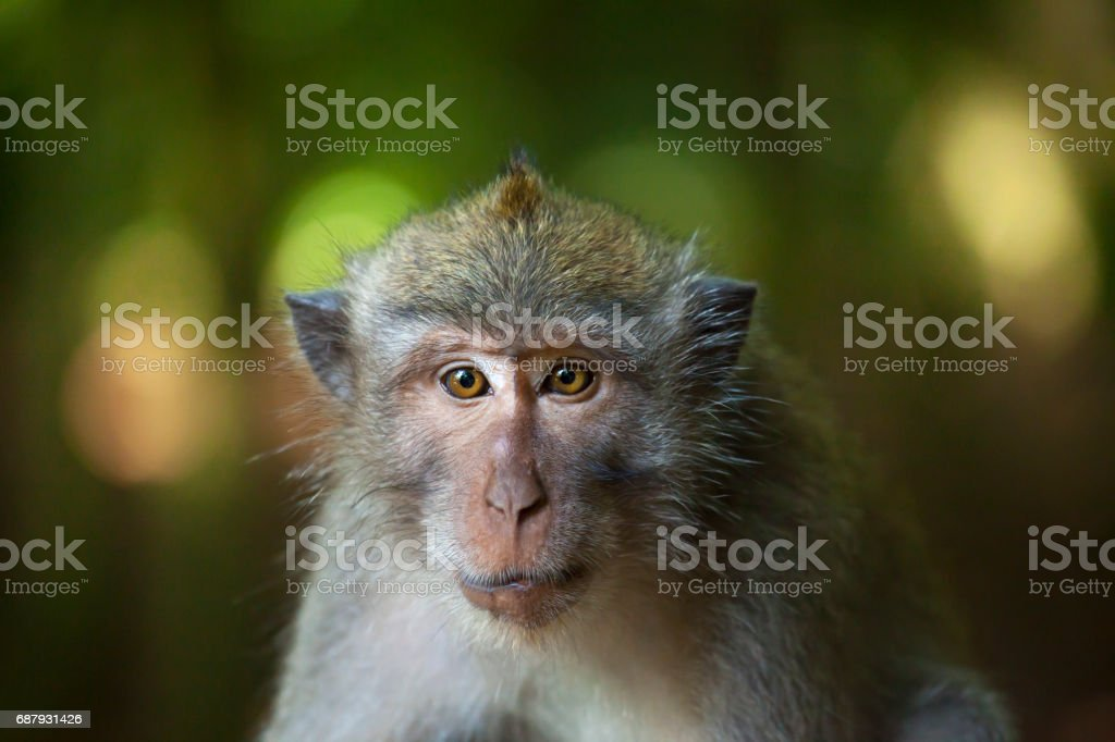 Portrait of Macaque sitting alone in forest stock photo
