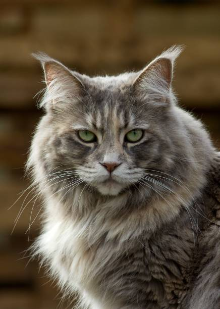 portrait of main coon can stock photo