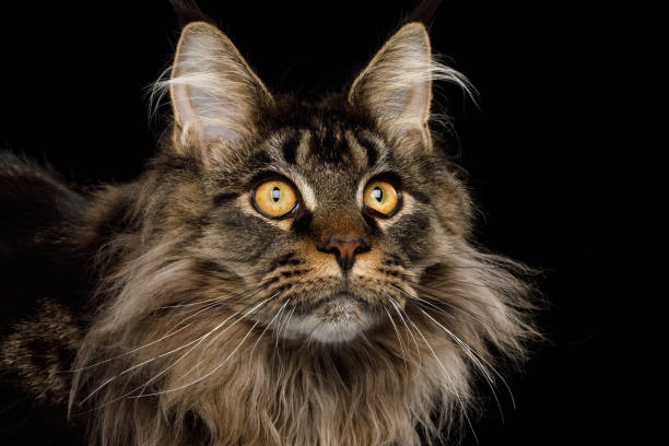 Portrait of maine coon cat on black background picture id819476586?b=1&k=6&m=819476586&s=612x612&w=0&h=kvvqlflcuda6pkvz5 zlkbmieqekmkaoxbyw8l1uaq4=