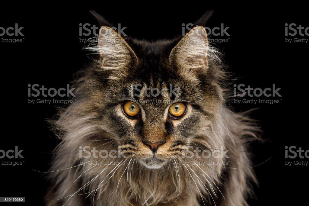 Retrato do gato de Coon de Maine em fundo preto - foto de acervo
