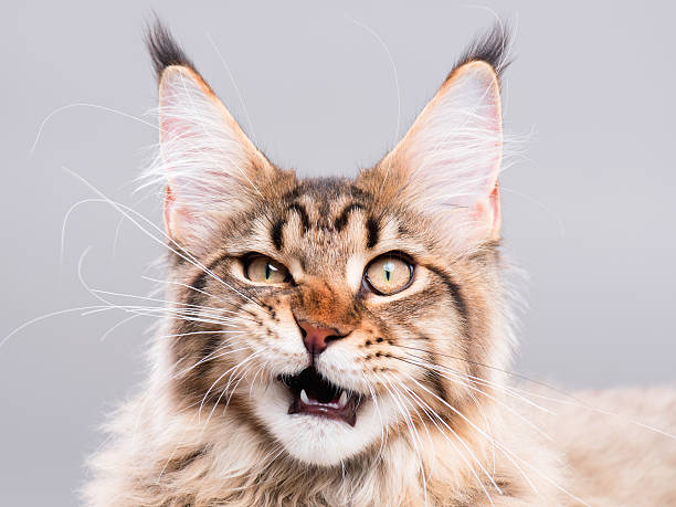 Portrait of Maine Coon cat Portrait of domestic black tabby Maine Coon kitten - 5 months old. Cute striped kitty looking at camera. Beautiful young cat make funny face on grey background. grimacing stock pictures, royalty-free photos & images
