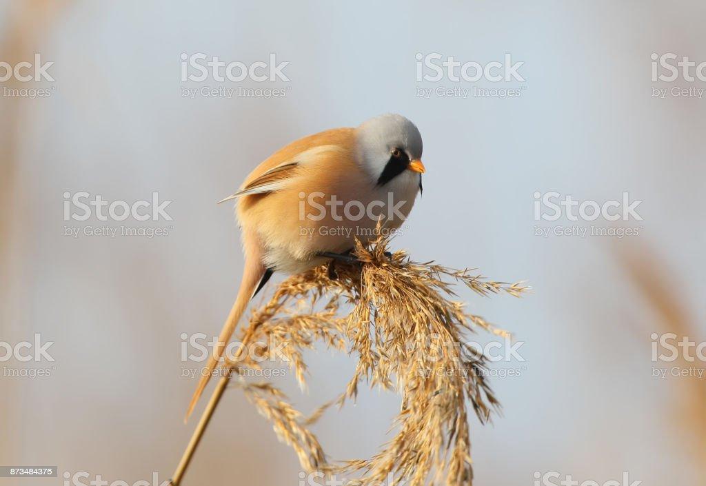 Portrait of male beardid tit on the reed. stock photo