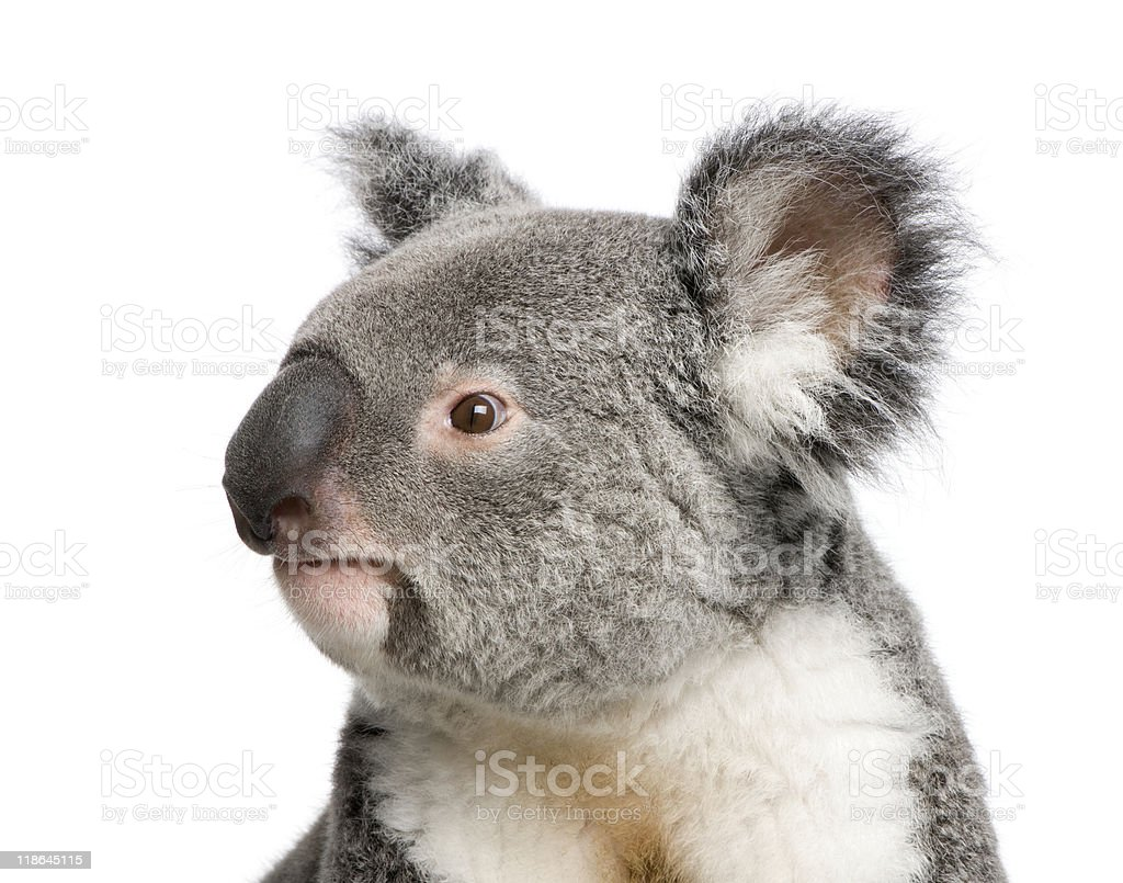 Portrait of male Koala bear against white background royalty-free stock photo