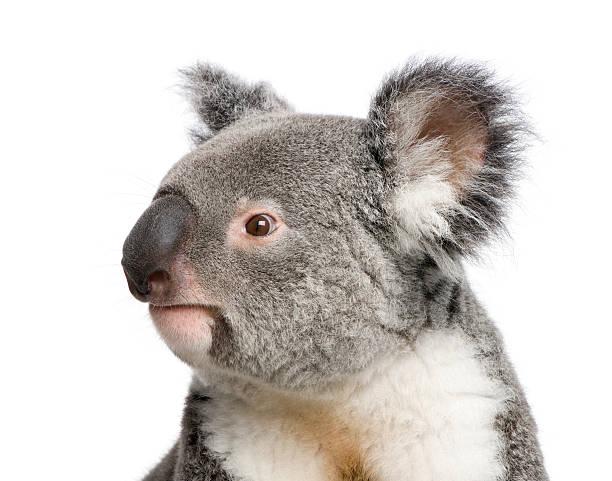 Porträt eines männlichen Koalabär vor weißem Hintergrund – Foto