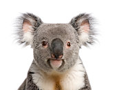 istock Portrait of male Koala bear against white background 93218224