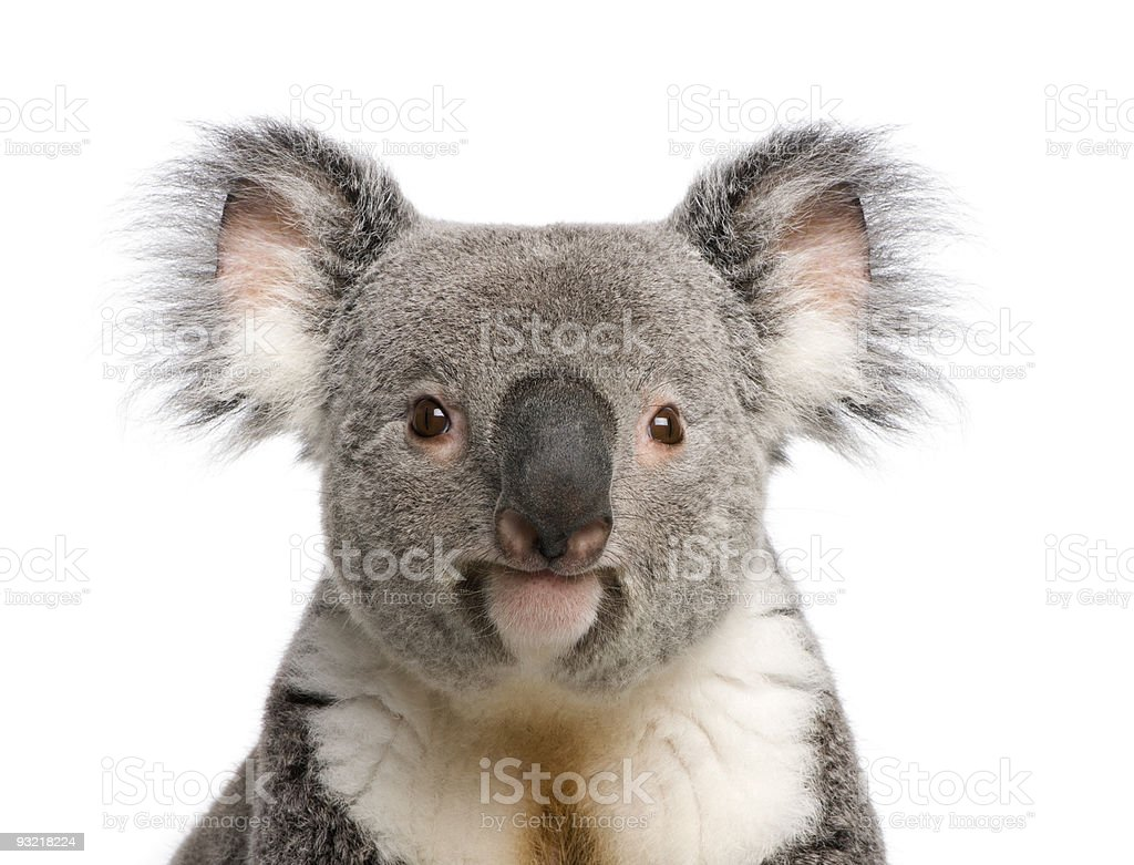 Portrait of male Koala bear against white background stock photo