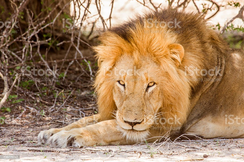 portrait of male lion in the bush in Kruger Park stock photo