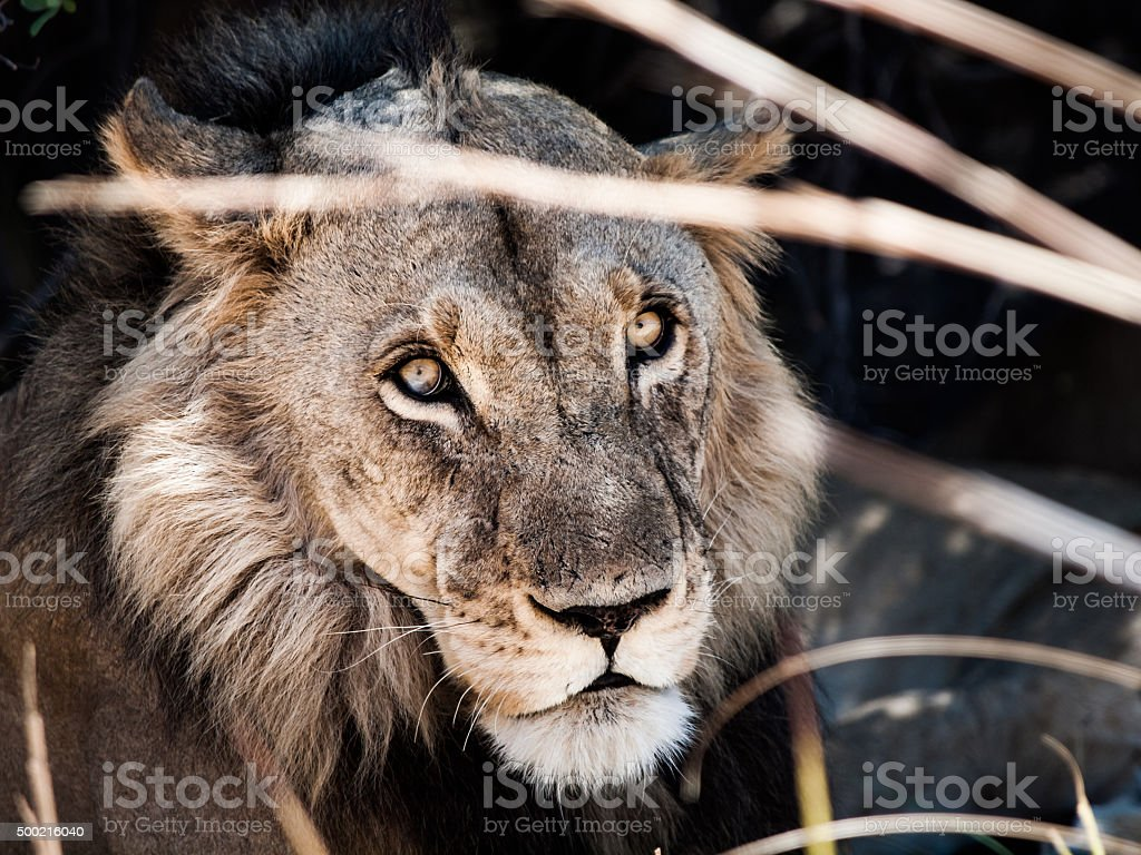 Portrait of male lion lying in the grass stock photo