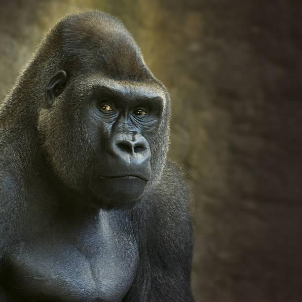 retrato de hombre en cautiverio gorila de las llanuras - gorila fotografías e imágenes de stock