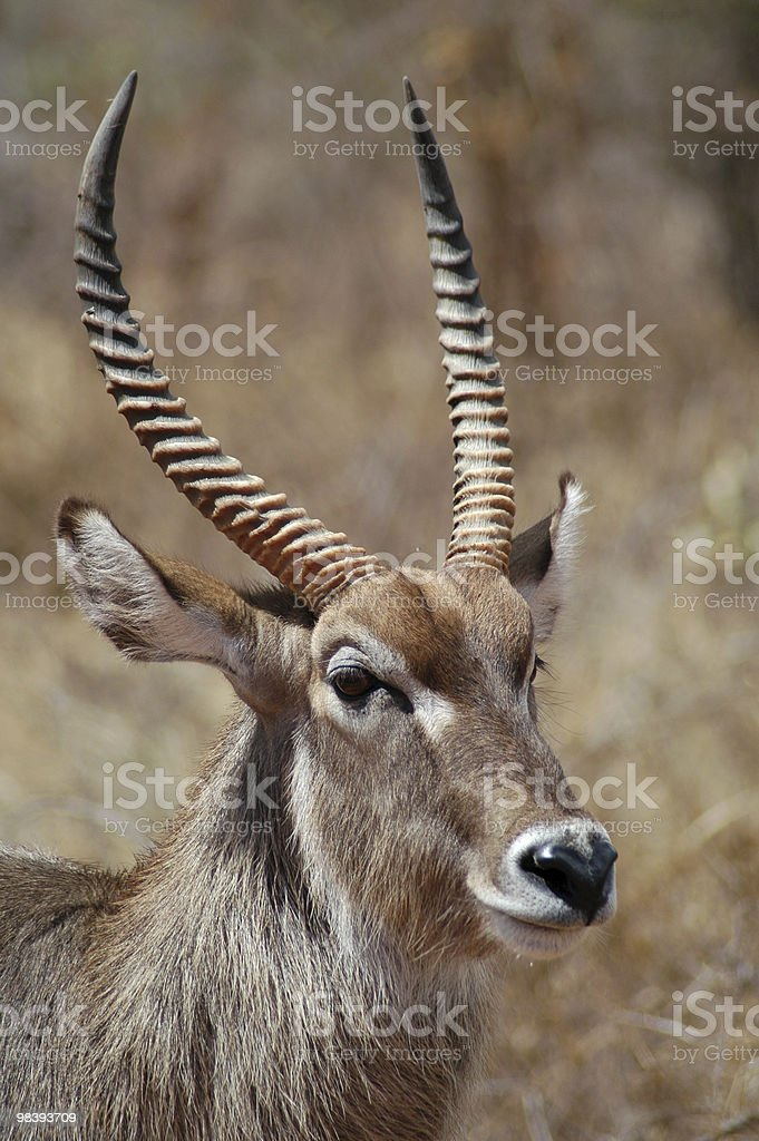 Portrait of male waterbuck royalty-free stock photo
