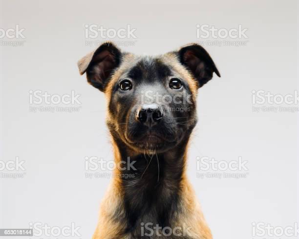 Portrait of malinois belgian berger dog picture id653018144?b=1&k=6&m=653018144&s=612x612&h=h gtws4ea6bs6jdgkmwzxeb0konfrs3nsxsketkbs4i=