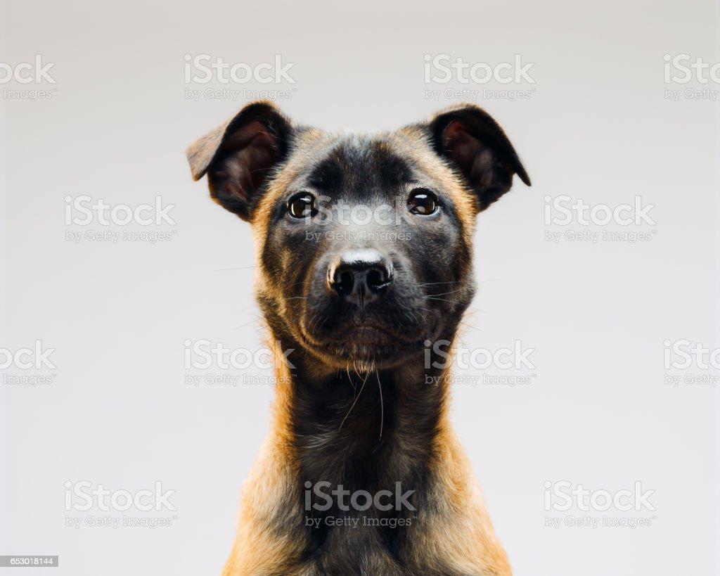 Portrait of Malinois Belgian Berger dog stock photo